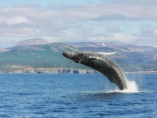 Walvissen spotten bij Husavik (Foto: Benjamin Cabe)