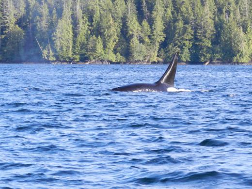 canada-vakantie-vancouver-island-orka