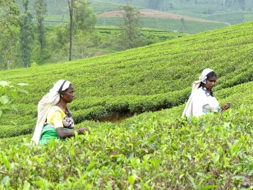 sri-lanka-reis-natuur-theevelden