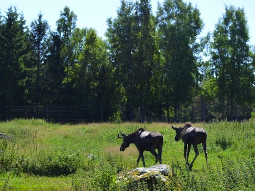 Zweden-Kosta-elandenpark-elandenechtpaar