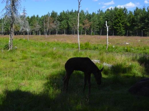 Zweden-Kosta-elandenpark-jonkie