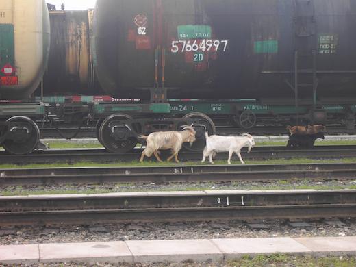 Ulan Ude, waar de geiten gewoon los rondlopen.