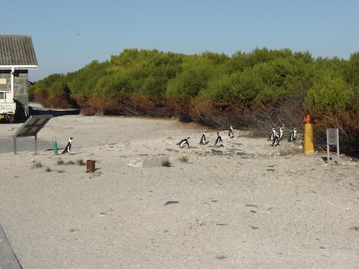 Robbeneiland wordt tegenwoordig vooral bewoond door pinguins...